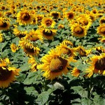 Photo champ de tournesols