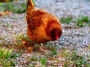 Portrait d'un poussin et sa mère poule