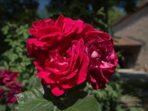 Photo de rose